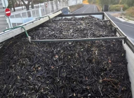 GNR apreende mais de quatro toneladas e meia de alfarroba em Lagoa e identifica condutor
