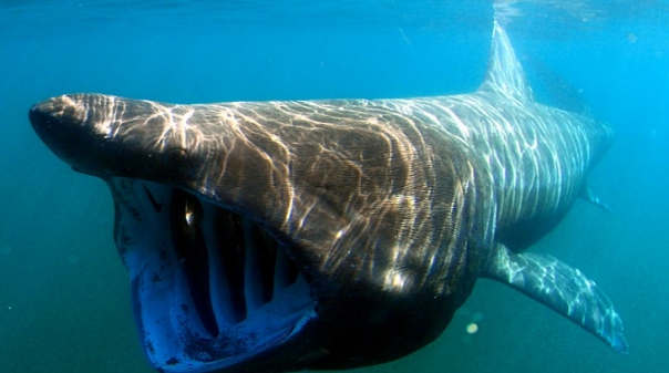 Afinal, grande tubarão avistado nas praias de Tavira «é gentil e tímido»