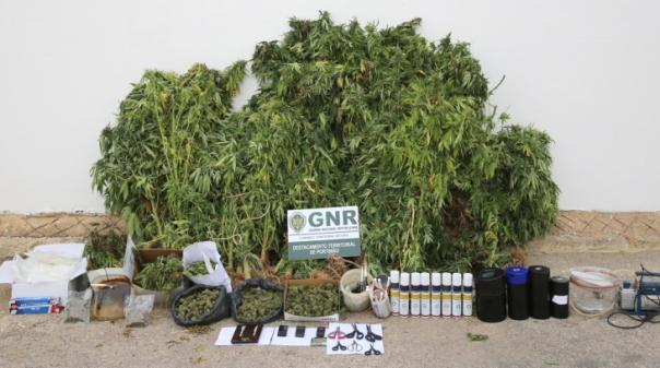 Aljezur:GNR detém homem por cultivo de estupefacientes e apreende 1.650 doses de canábis