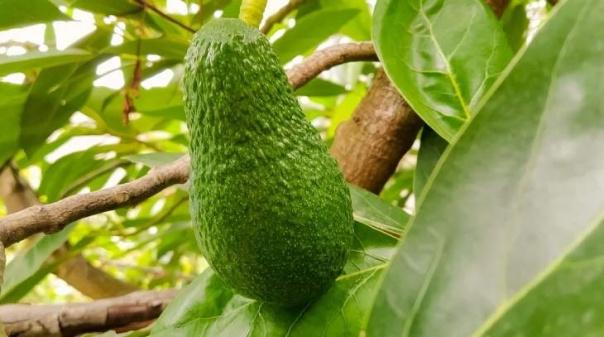 Abacate do Algarve registado como marca para disciplinar comercialização do fruto