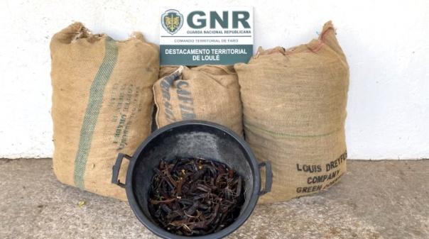 GNR faz nova apreensão de alfarroba furtada no concelho de Loulé
