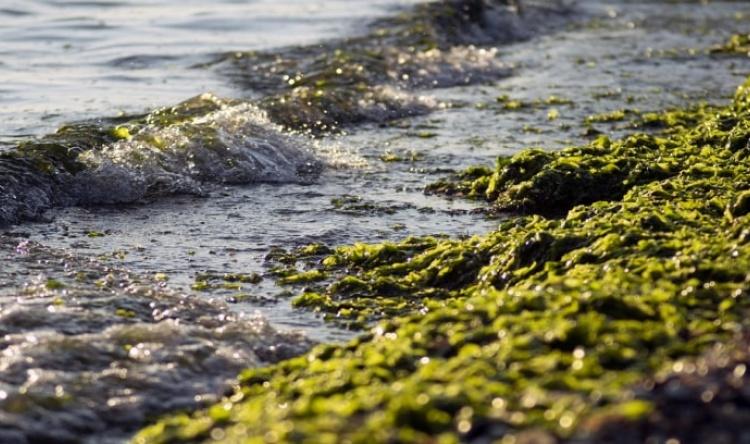 APA esclarece que acumulação de algas em algumas praias algarvias não afeta qualidade da água